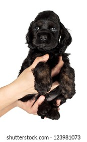 Very cute American Cocker spaniel puppy on women's hands. Isolated on white background.