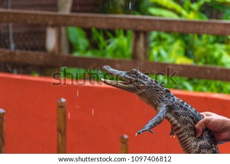 Very Cute Baby Alligator Being Held Stock Photo Edit Now