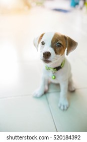 Very cute baby Jack russell terrier dog smiling portrait - close up.