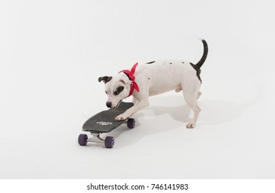 A very cute black and white Staffordshire bull terrier dog on a skateboard, on a white seamless studio infinity curve, with a red bandana around its neck. Skateboarding dog.