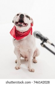 A very cute black and white Staffordshire bull terrier dog singing into a microphone, isolated on a white studio background The staff dogs mouth is wide open.