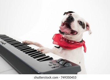 A very cute black and white Staffordshire bull terrier dog playing on an electric keyboard piano The staffy dogs mouth is wide open whilst making music.