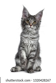 Very cute blue tabby Maine Coon cat kitten, sitting facing front. Looking at lens with pretty yellow and green eyes. Isolated on white background. Paw lifted in air for playing.