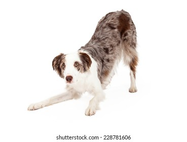 A very cute Border Collie Dog bowing while looking forward.