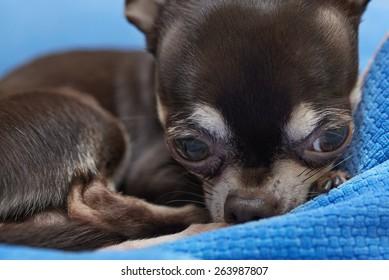 very cute Chihuahua
