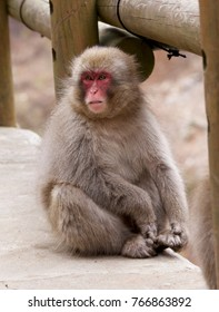 Very cute child monkey of Jigokudani Monkey Park.Snow monkey park lives in celebrated monkeys in Nagano prefecture of Japan.