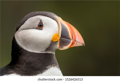 A very cute and colourful little Puffin Bird with it's vibrant coloured large beak facing right. Sharp detail of feathers and eye. Green diffused background, Space for text. Clown of the sea.