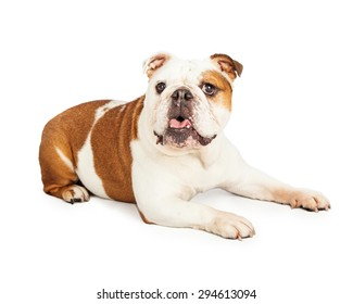 A very cute English Bulldog laying to the side with open mouth.
