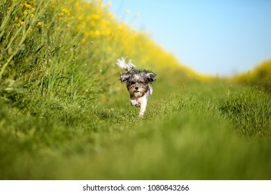 Very cute and funny Bichon Havanese dog with summer haircut running through a rape field on a bright sunny day. Selective focus and shallow depth of field