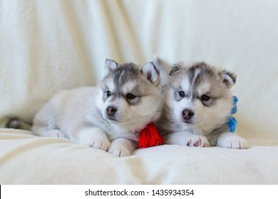 Very cute little two puppies of the Siberian Husky on a light background. Boy and girl