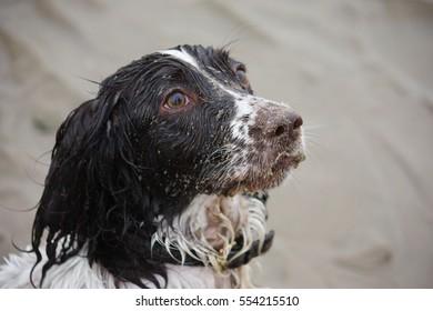 Very cute liver and white working english springer spaniel pet gundog