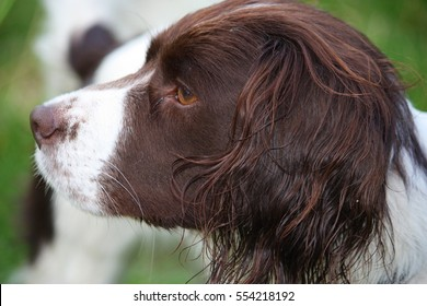 Very cute liver and white working english springer spaniel pet gundog