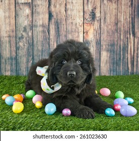 Very cute Newfoundland puppy laying in the grass with Easter eggs around her.