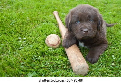 Very cute Newfoundland puppy laying in the grass outdoors with a baseball bat and ball, with copy space.