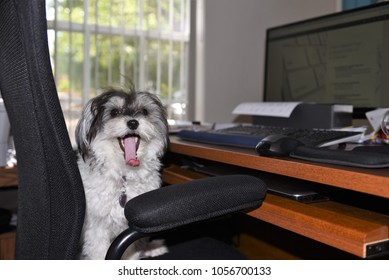 A very cute parti colored black and white female havanese dog is bored in office during take your dog to work day