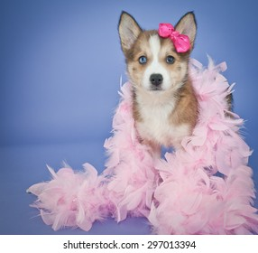 Very cute Pomsky puppy with a pink feather boa and a little pink bow in her hair, standing on a purple background.