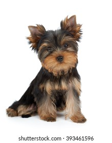 Very cute puppy of the Yorkshire Terrier on white