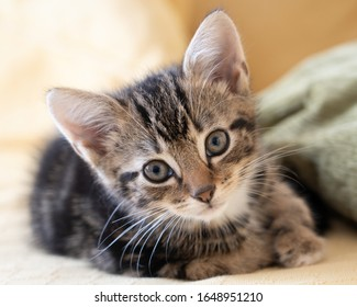 Very cute tabby kitten resting and looking to camera