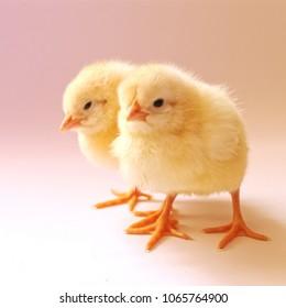 Very cute twin baby chicks.
