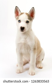 A very cute young male Husky puppy sits obediently