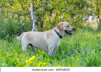 very cute young purebred labrador dog with beautiful brown white fur with brown eyes ears big head mouth teeth happily walking in the park on a nice sunny weather outdoors