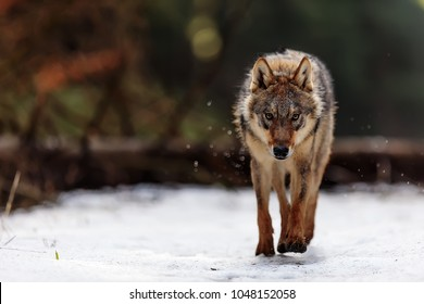 very dangerous and angry wolf