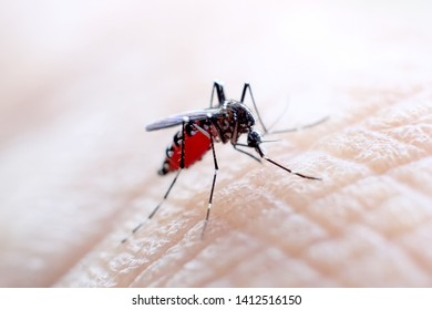 very dangerous mosquitoes are sucking blood