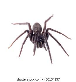 Very dark and hairy spider on white. Segestria florentina.