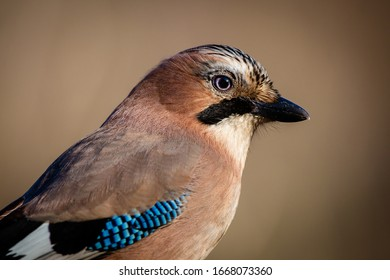 Very detailed portrait of Eurasian Jay