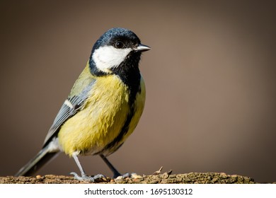 Very detailed portrait of a great tit garden bird
