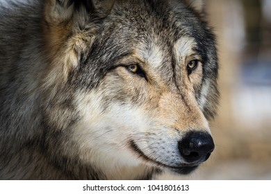 Very detailed shot of wolf's head