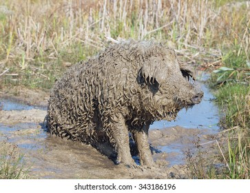 Very dirty pig of Hungarian breed Mangalitsa relaxing in a puddle