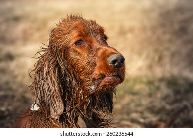 Very dirty and wet puppy of irish setter