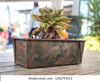 Very Dry Suculent with Rusty Plant Pot