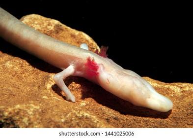 Very elegant example of Proteus anguinus amphibious urodel