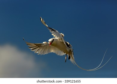 Very elegant white Red-billed Tropicbird in an elegant pose with a flowing tail and wings spread against blue sky