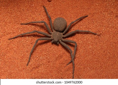 Very fast and creepy six-eyed Sand Spider (Sicarius sp) - quick catching and killing of their prey.