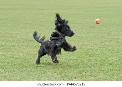 A very fast Working Cocker Spaniel chasing and catching a tennis ball