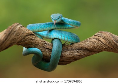 Very ferocious blue cobra snake