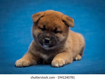 A very fluffy cute puppy sitting and posing for the photoshoot, looking straight into the camera like a professional model [Shiba inu]