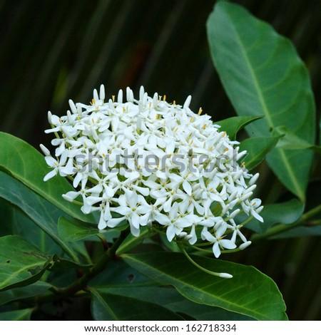 Very fragrant white flowers name siamese stock photo edit now very fragrant white flowers name siamese white ixora scientific name ixora finlaysoniana wall mightylinksfo