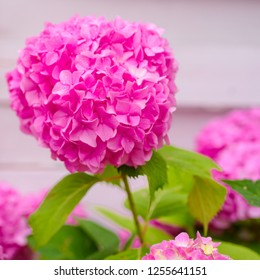 A very free bloomer. Showy flowers in summer. Pink hydrangea in full bloom. Blossoming flowers in summer garden. Hydrangea blossom on sunny day. Flowering hortensia plant.