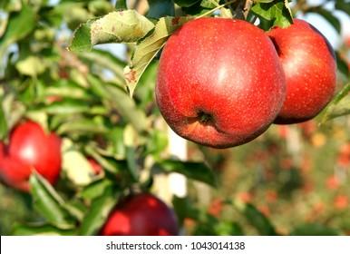 Very fresh apples