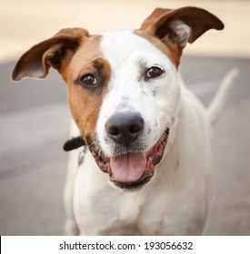 Very friendly and happy white and red mongrel dog with mouth open, tongue out and ears up on an urban street