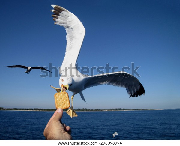 Very friendly seagull takes cooky from man's hand, soft focus