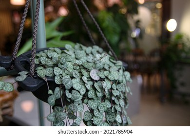 very full bushy string of hearts plant background