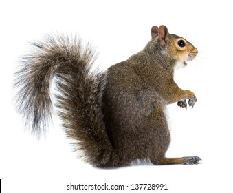 Very funny American gray squirrel with outstretched paws isolated on white background