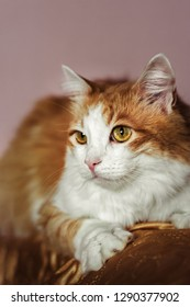 Very funny ginger cat laughing. Portrait of a red fluffy cat on a gentle pink background
