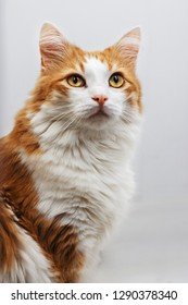 Very funny ginger cat laughing. Portrait of a red fluffy cat on a white background