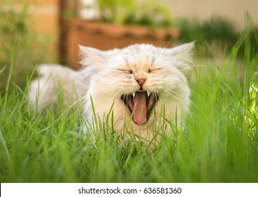 Very funny persian cat laughing on green lawn